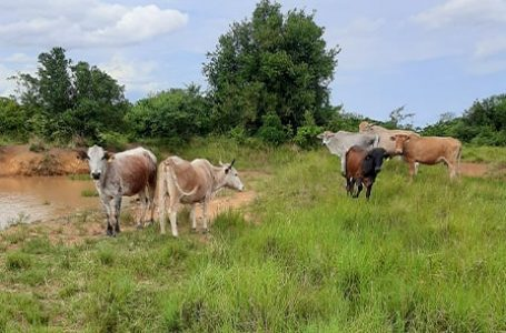 Paralyzing effect of cattle rustling